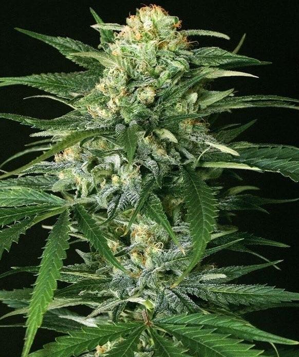 autoflower-white-widow-strain-seeds-feminized-cheap