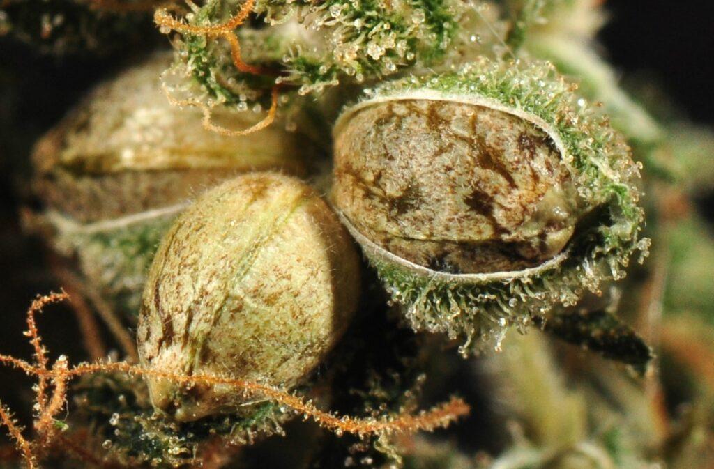 buy-feminized-auto-flower-regular-cannabis-seeds