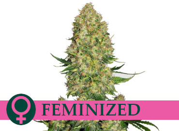 feminized-cannabis-seeds-category-cheap-best-prices-discount