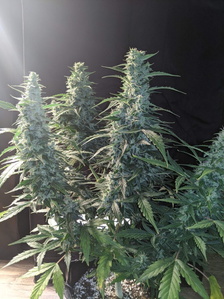 oasis-autoflower-critical-mass-grow