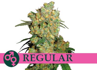 regular-cannabis-seeds-cheap-best