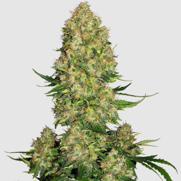 skunk-strain-cannabis-seeds-dagga-seeds