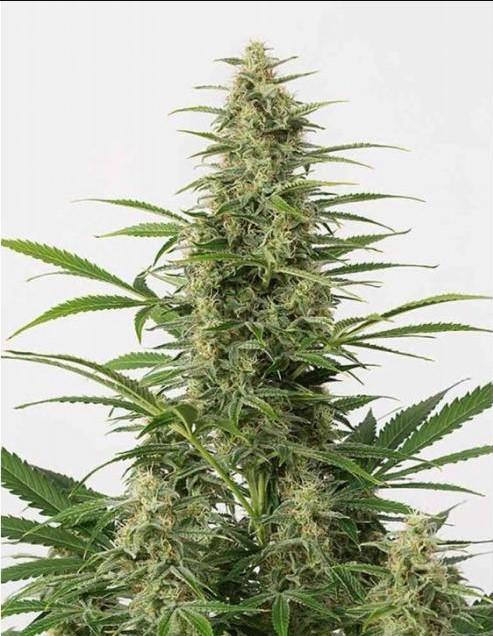 sour-diesel-auto-strain-cannabis-seeds