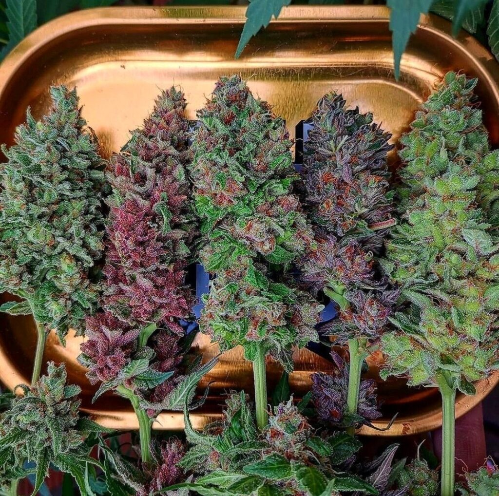 evaluate-cannabis-quality-potency