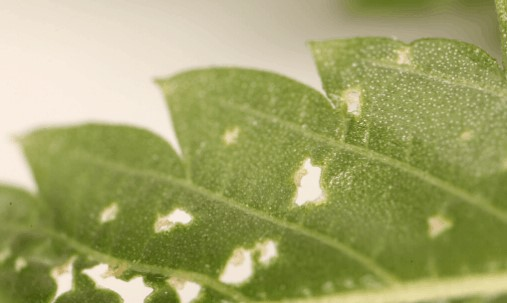 evidence-of-spider-mites-by-their-destruction