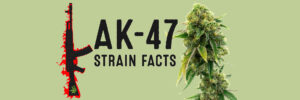 ak-47-strain-review-effects-grow-tips-medical-benefit