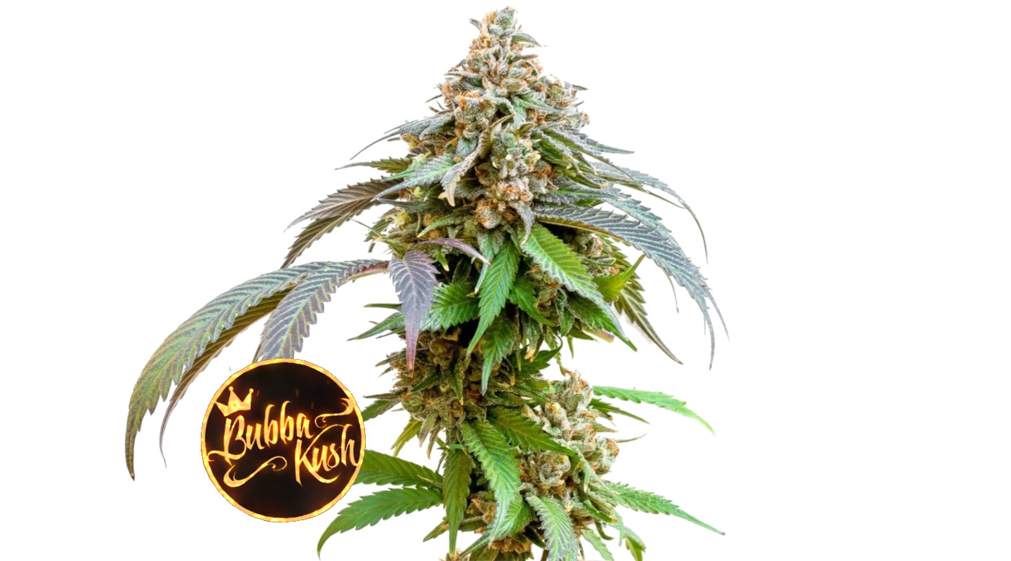 bubba-kush-strain-review-effects-medical-information-pictures-dagga-seeds
