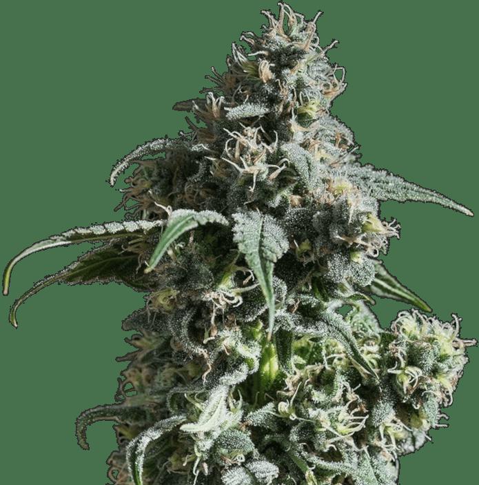 nuken-strain-growing-image