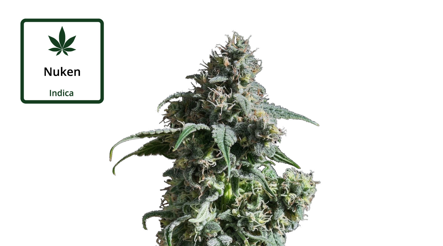 nuken-strain-review-effects-medical-information-pictures