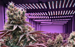 purple-og-strain-review-effects-similar-strains