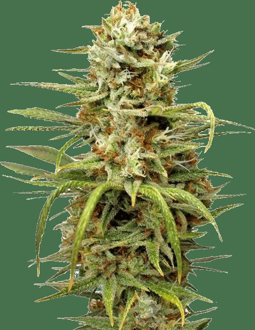 white-widow-strain-autoflower-feminized-seeds-min