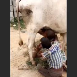 Unnatural: Young Fulani herder competes with calf for mother's breast milk [Video]