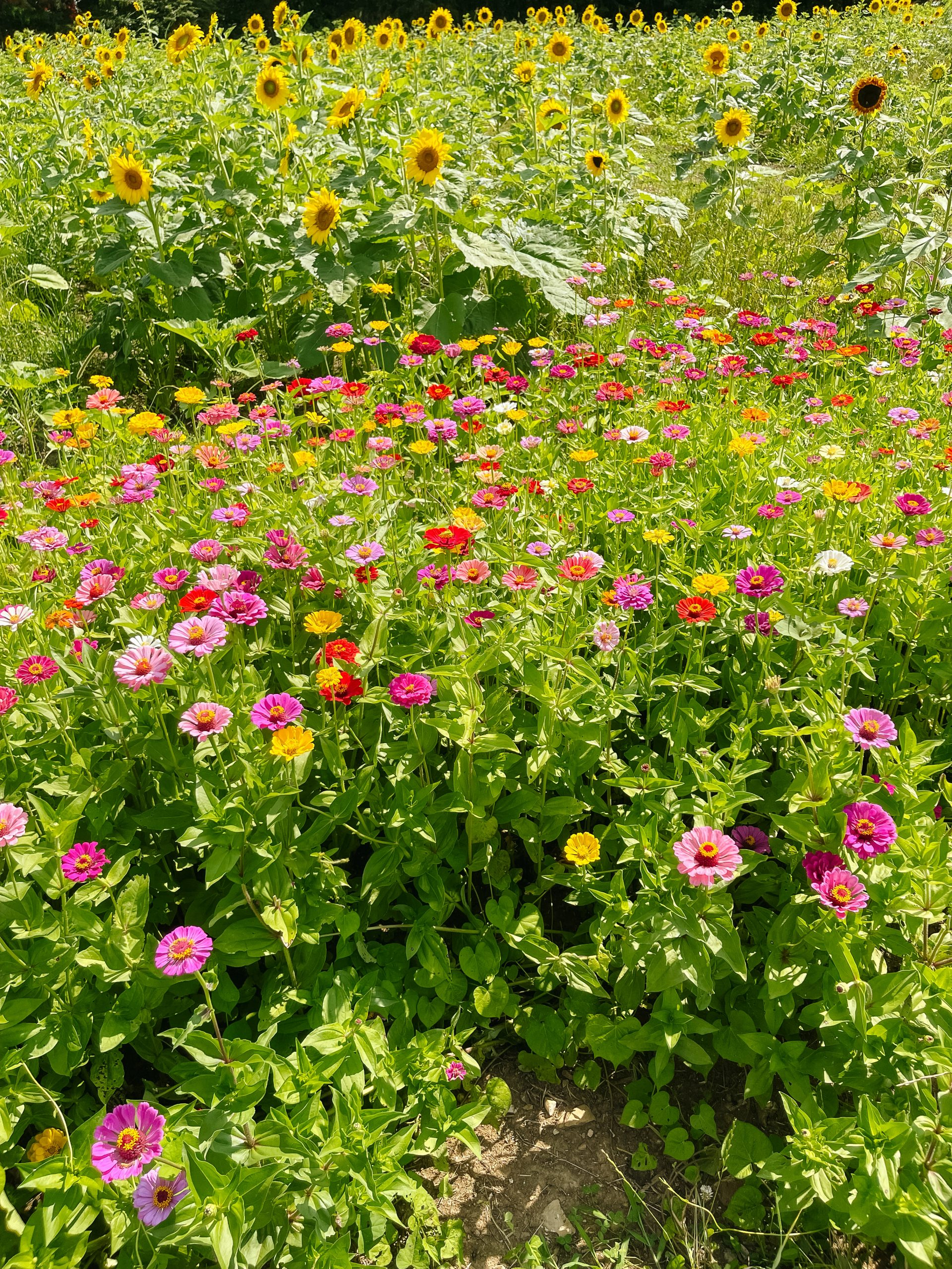 Lucky Ladd Farms flowers sunflower field angela lanter