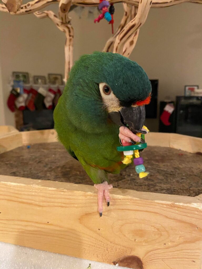 ILLINGERS MACAW PARROT FOR SALE
