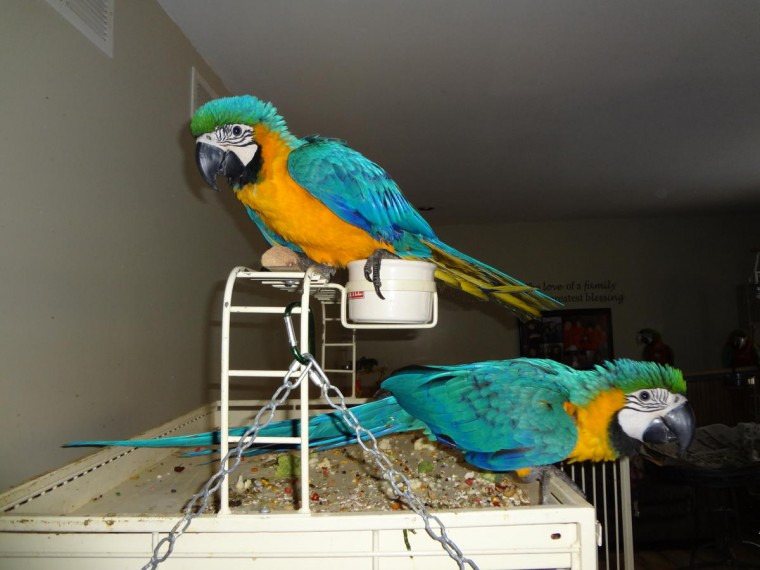 Pair of macaws for sale