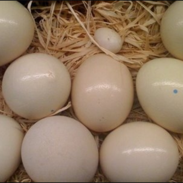 Hyacinth macaw eggs for sale