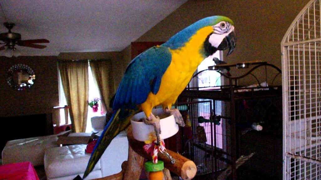 macaw parrot home