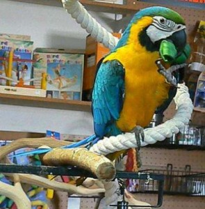 macaw parrot at the shop
