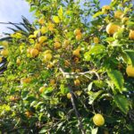 lemon tree in Santa Clara