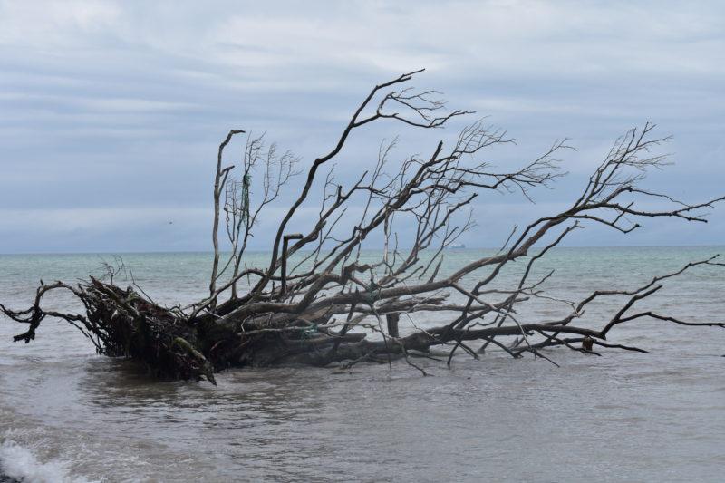 Driftwood at Mons Klint