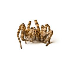 Brown spider up close - terminators Philadelphia pest control