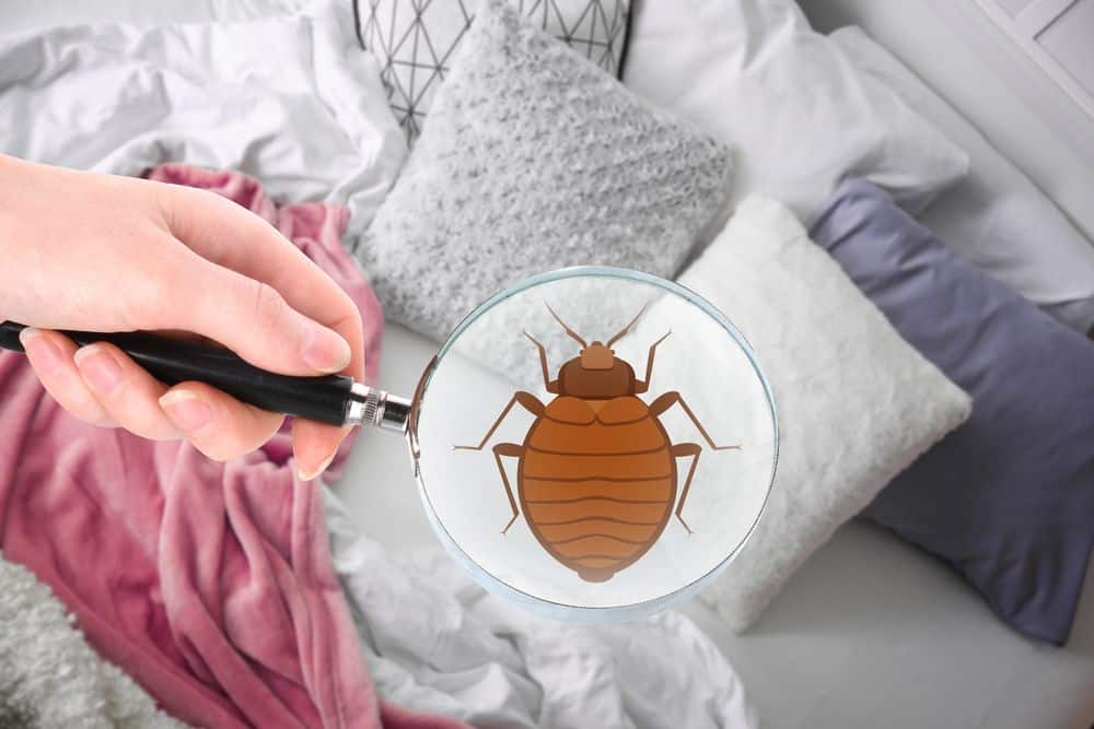 bed bug under magnifying glass