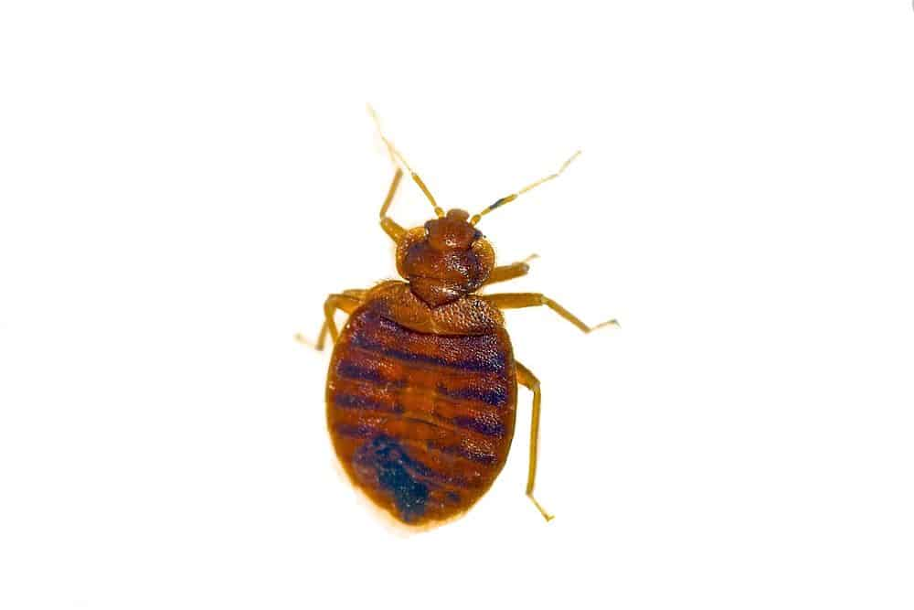 what do bed bugs look like - image of bed bug