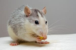 mouse eating food in PA