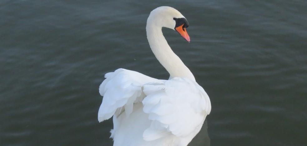 Lady-Swan-984x470
