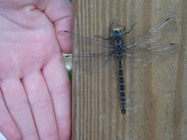 Giant Dragon Fly
