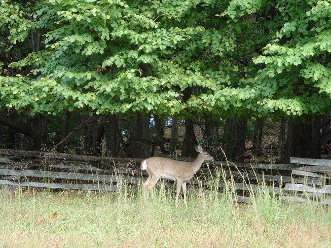 Venison at Valley Forge