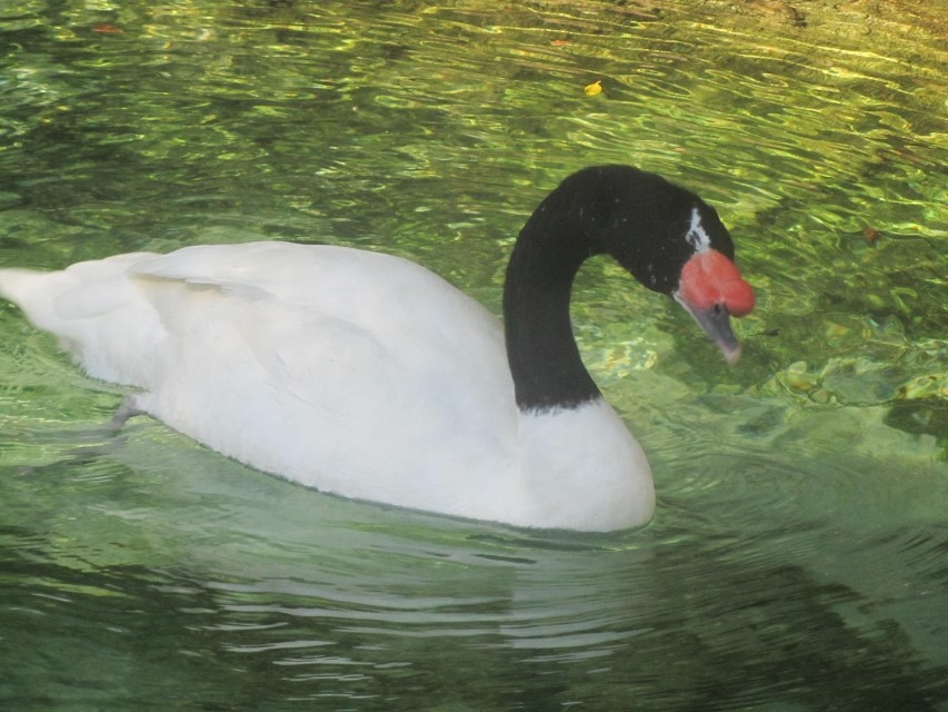 This is the ugly duckling according to everyone I ask. I think it is a beautiful swan. Probably taste a lot like a Canadian goose too, one must not judge is dinner before it is served.