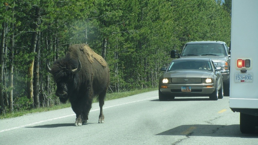 Flashing your lights, honking the horn, and hand gestures did not have any impact on the bison. He was no match for that sports car!