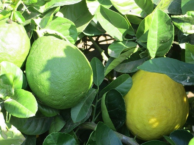 Here is another pair of lemons