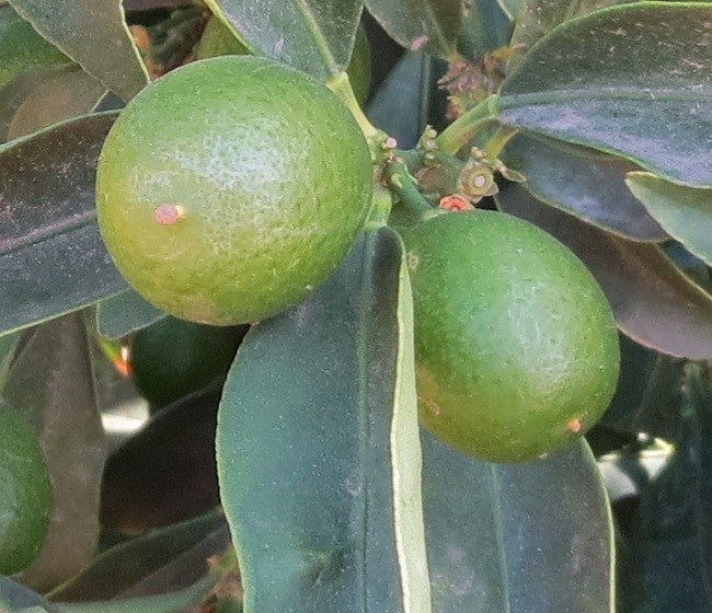 They used to call me a Kumquat in school. Seeing what a Kumquat is, I must say they must have been somewhat blind, I see no resemblance.
