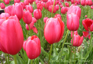 Tulips for the Garden