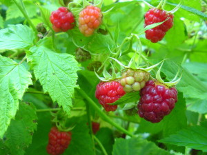 Red Raspberries 2