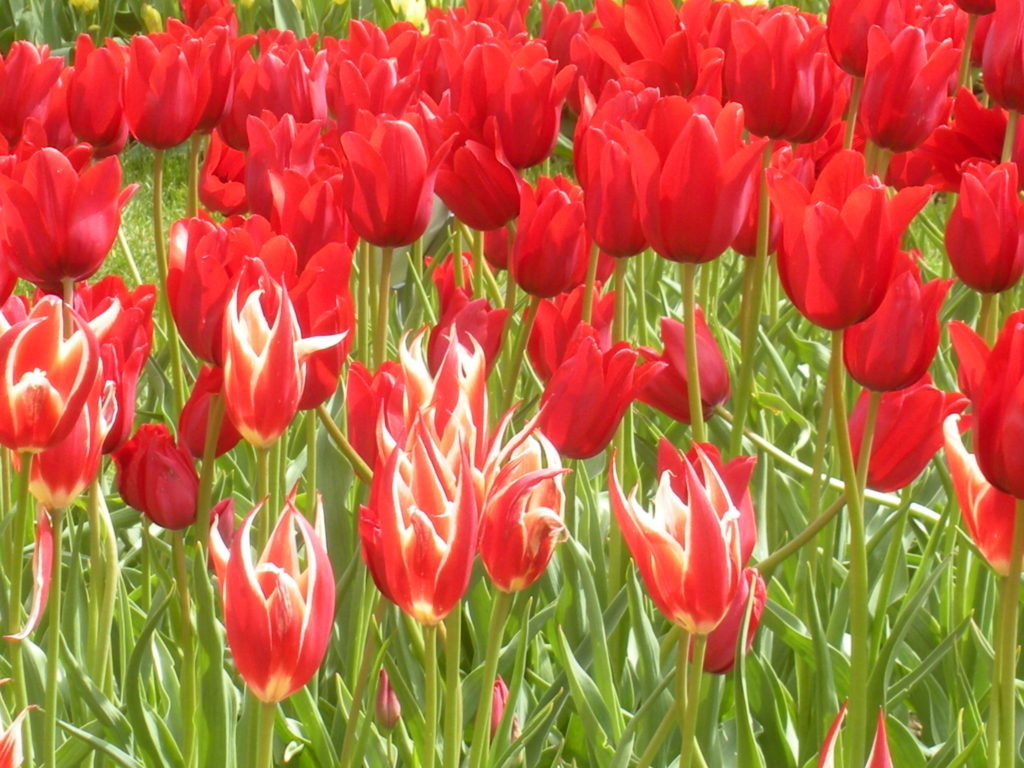 The Tulips at Windmill Gardens
