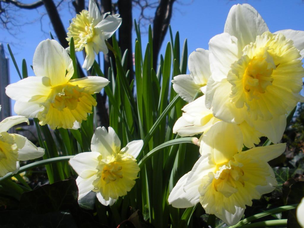 daffodils_5295