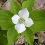 Dogwood flower