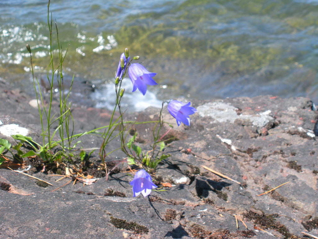 Bluebell Bellflower & Lake Superior