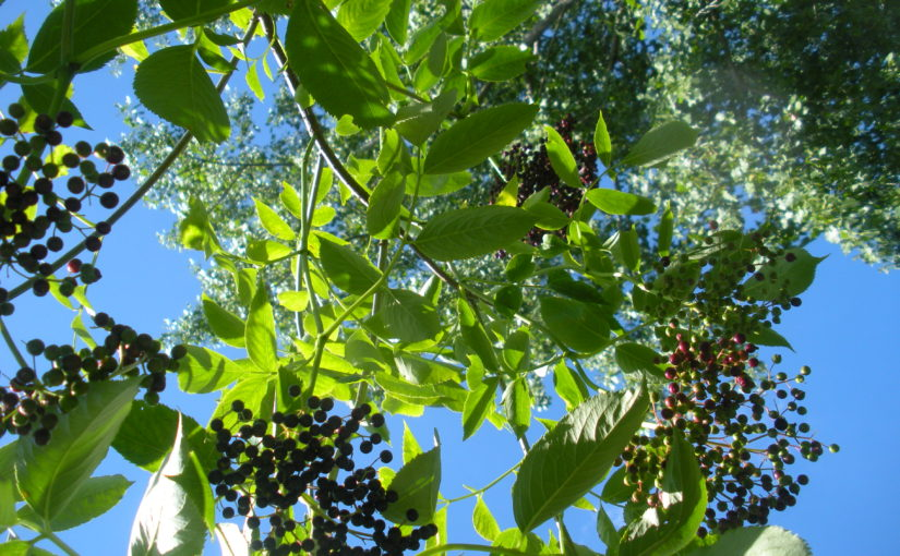 Lacy Loveliness of the Elderberry Bush