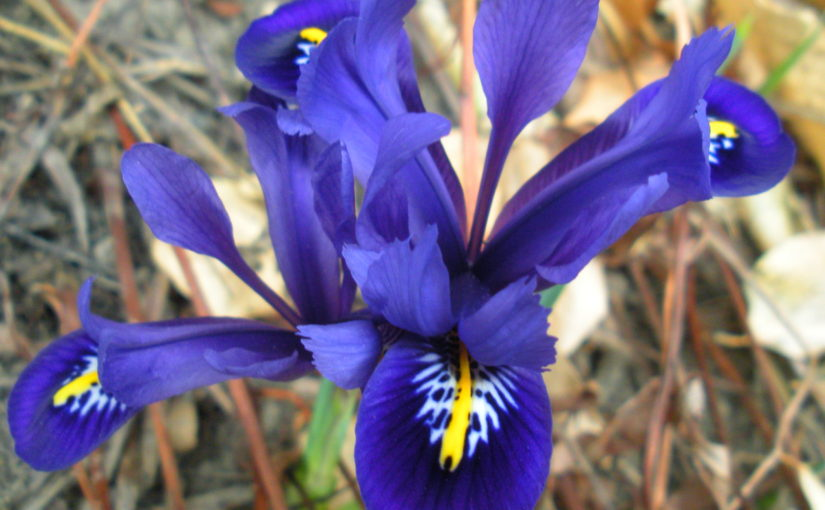Petite Purple Irises and Stinging Nettle