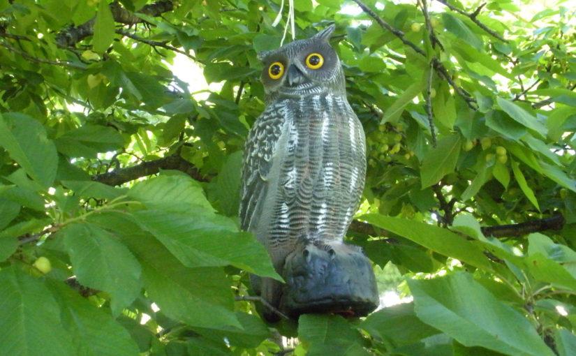 Owls in My Cherry Tree