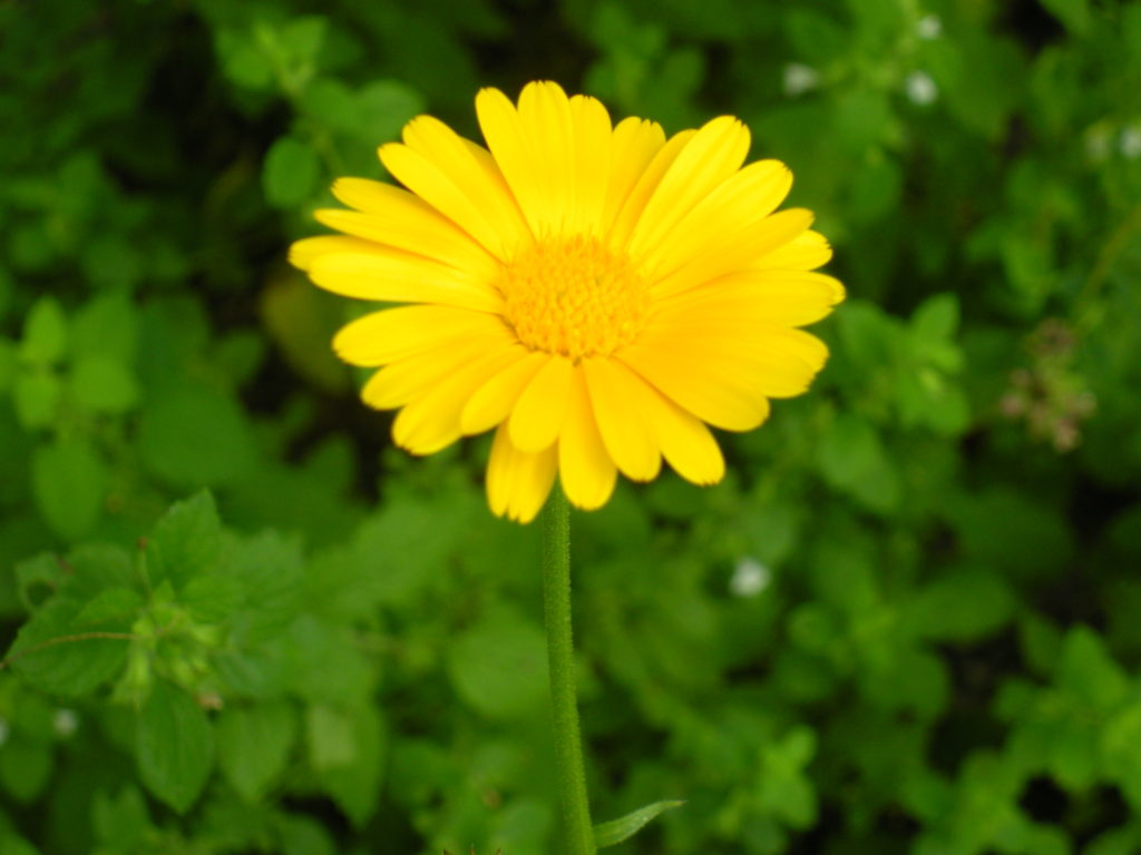 Lemon Yellow Calendula