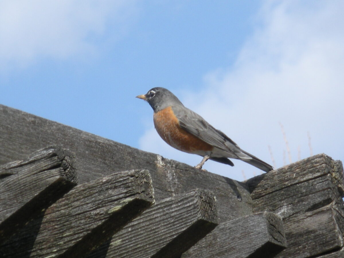Observing the Robin