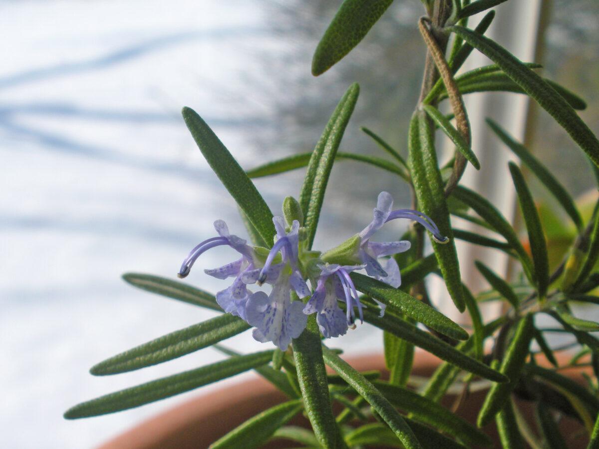Herbs in My Bay Window