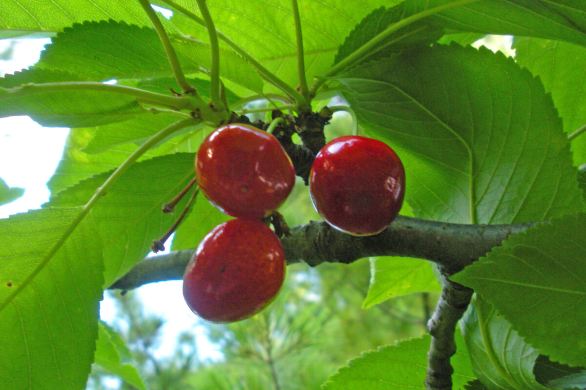 The Cherry Tree, Bewildered Birds and a Recipe