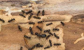 Carpenter ants.