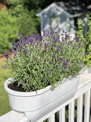Lavender, Feeding Bees and Living Romans 12